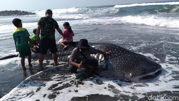 Seekor hiu paus atau dikenal dengan warga dengan sebutan Naga Lintang terdampar di Pantai Congot, Temon, Kulon Progo, DIY, Sabtu (19/9/2020). Saat ditemukan hiu ini sudah dalam kondisi mati.