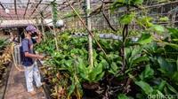 Petani tanaman hias menyemprot cairan anti hama pada berbagai jenis tanaman anthurium di kawasan Pondok Aren, Tangerang Selatan, Sabtu (19/9/2020). Nilai jual tanaman anthurium masih tinggi meski tidak sefenomenal satu dekade silam yang mencapai ratusan juta rupiah. Saat ini, satu pohon anthurium dibandrol mulai dari ratusan ribu hingga jutaan rupiah tergantung ukuran dan jenisnya. Tanaman dalam keluarga Araceae tersebut memiliki sekitar 1.000 jenis namun hanya beberapa yang populer seperti anthurium Jemanii, Gelombang Cinta dan Hookeri.