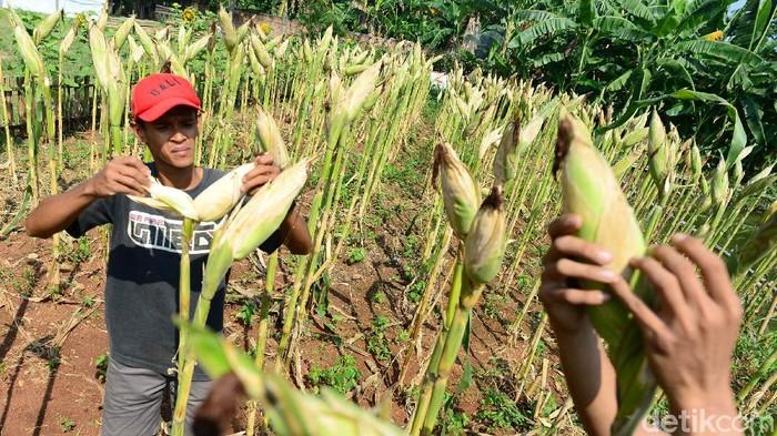 Petani mengecek tingkat kekeringan jagung siap panen di Parigi, Tangerang Selatan, Sabtu (19/9/2020). Jagung tersebut dibiarkan sampai mengering di pohon untuk mempermudah proses pengolahan pasca panen. Kementerian Pertanian (Kementan) mencatat target produksi jagung lokal 6,4 ton/hektar namun di beberapa daerah surplus menjadi 8 hingga 9 ton/hektar. Secara nasional, produksi jagung sepanjang tahun 2020 diperkirakan mencapai 24.16 juta ton.