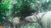 Kabar Bahagia! Dua Anak Badak Jawa Lahir di TN Ujung Kulon