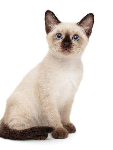 BLUE SOMALI DOMESTIC CAT, ADULT SITTING ON SIDEBOARD