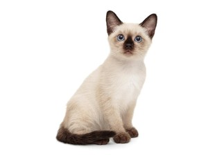 15 Jenis Kucing Peliharaan yang Populer, Menggemaskan dan Mudah Dirawat
