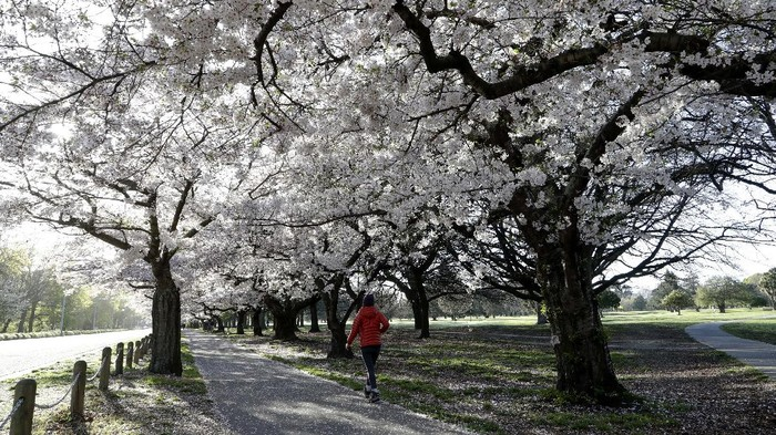 People exercise in the early morning along a spring blossom lined path in Hagley Park, Christchurch, New Zealand, Sunday, Sept. 20, 2020. The trees are a hybrid species that is very popular in Japan, called Yoshino Cherry (prunus x yedoensis) and were planted on Arbor Day in 1936. (AP Photo/Mark Baker)