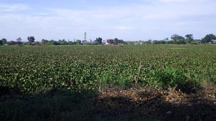 Danau di Martubung, Medan penuh eceng gondok (Datuk Haris-detikcom)