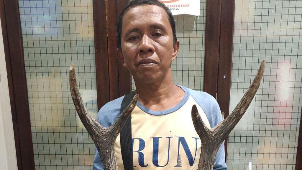 Simpan Tanduk Rusa Sambar-Kambing Hutan, Pria di Bengkulu Ditangkap