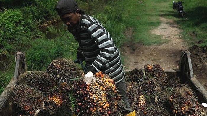 Malaysia - Indonesia: Perkebunan sawit Malaysia kekurangan tenaga kerja, apakah ada koridor khusus pekerja WNI?