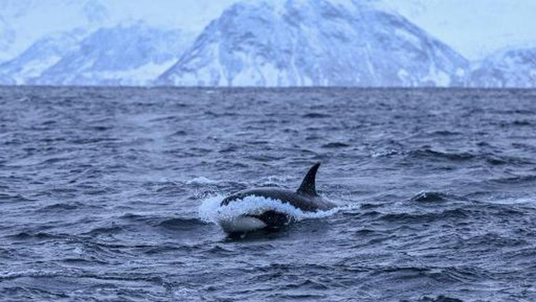 An orca chases herrings on January 17, 2019, in the Reisafjorden fjord region, near the Norwegian northern city of Tromso in the Arctic Circle. (Photo by Olivier MORIN / AFP)