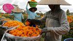 Panen Bunga Marigold di Bali