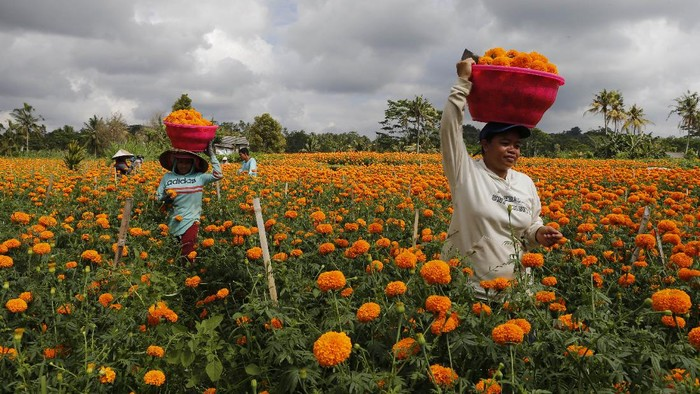 Workers harvest marigold flowers in Bali, Indonesia Monday, Sept. 21, 2020. Hindus in Indonesia often use flowers while praying as offering. (AP Photo/Firdia Lisnawati)