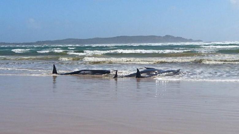 paus terdampar di tasmania