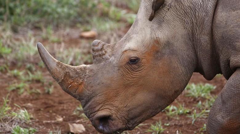 22 September diperingati sebagai hari badak sedunia. Satwa paling ikonik dengan tanduknya yang khas ini terus terancam punah.