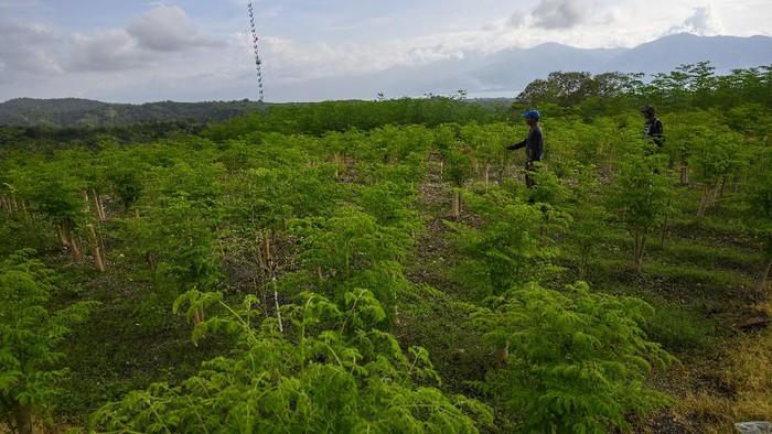 Sejumlah pekerja menyiangi tanaman kelor (Moringa oleifera) yang dibudidayakan sebuah perusahaan,  di Palu, Sulawesi Tengah, Selasa (22/9/2020). Tanaman kelor yang dikenal karena khasiatnya bagi kesehatan itu dibudidayakan di tempat itu untuk memenuhi permintaan pasar kelor beserta produk turunannya di luar negeri yang hingga kini baru sekitar 20 persen yang bisa dipenuhi. ANTARAFOTO/Basri Marzuki/hp.