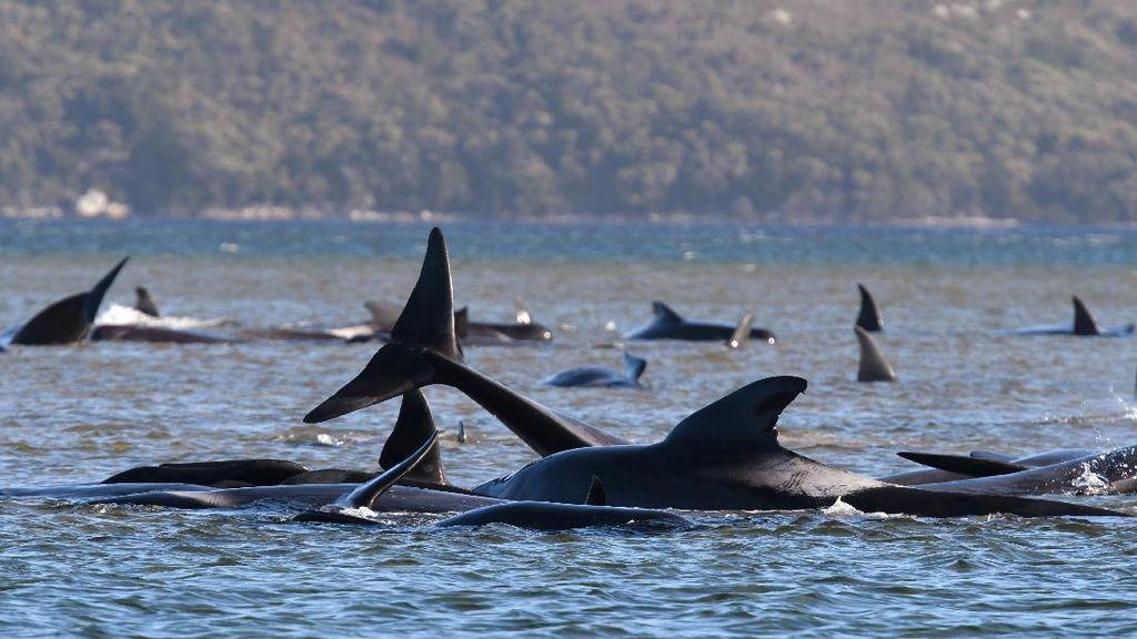 Australia Kembali Temukan 200 Paus Terdampar Lainnya