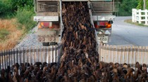 Invasi 10 Ribu Bebek di Ladang Ini Untuk Bersihkan Hama dan Gulma