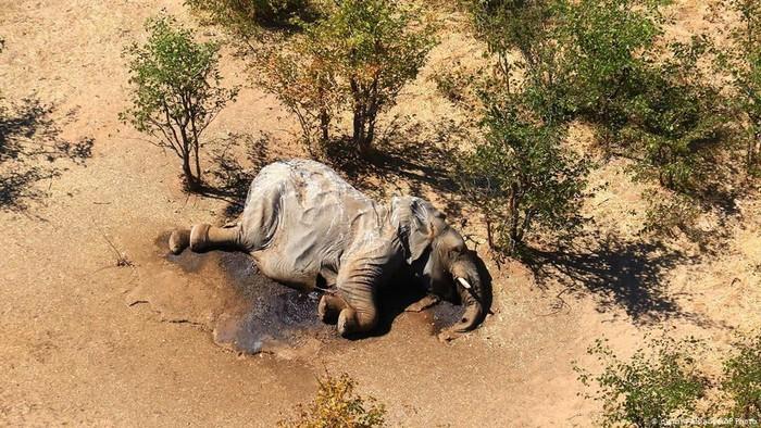 Misteri Kematian Massal Ratusan Gajah di Afrika Terungkap