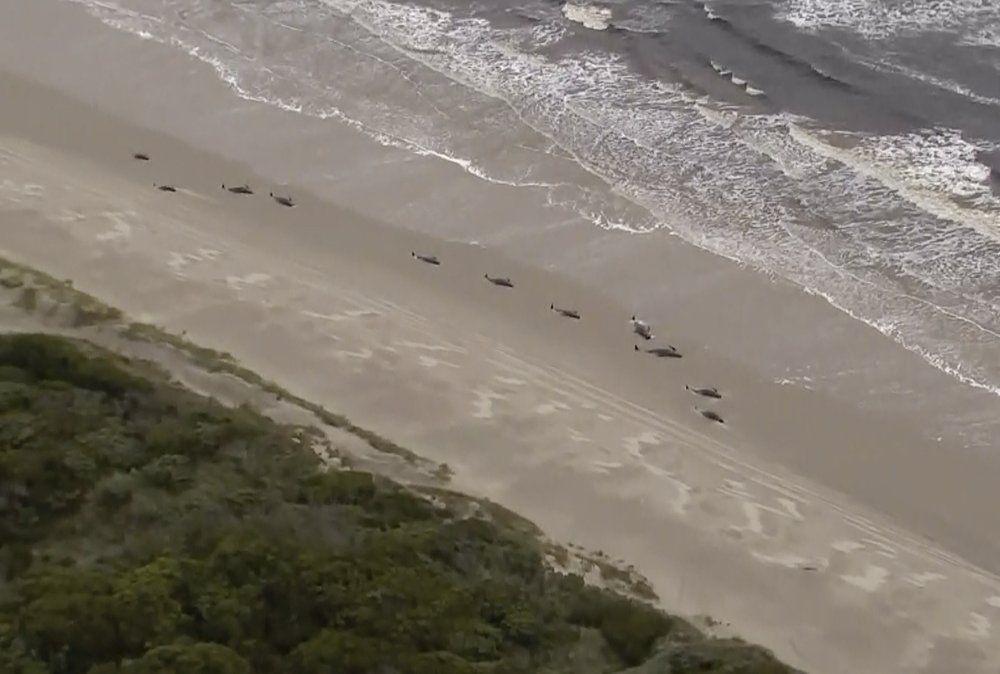 Ratusan paus terdampar di Tasmania, Australia.