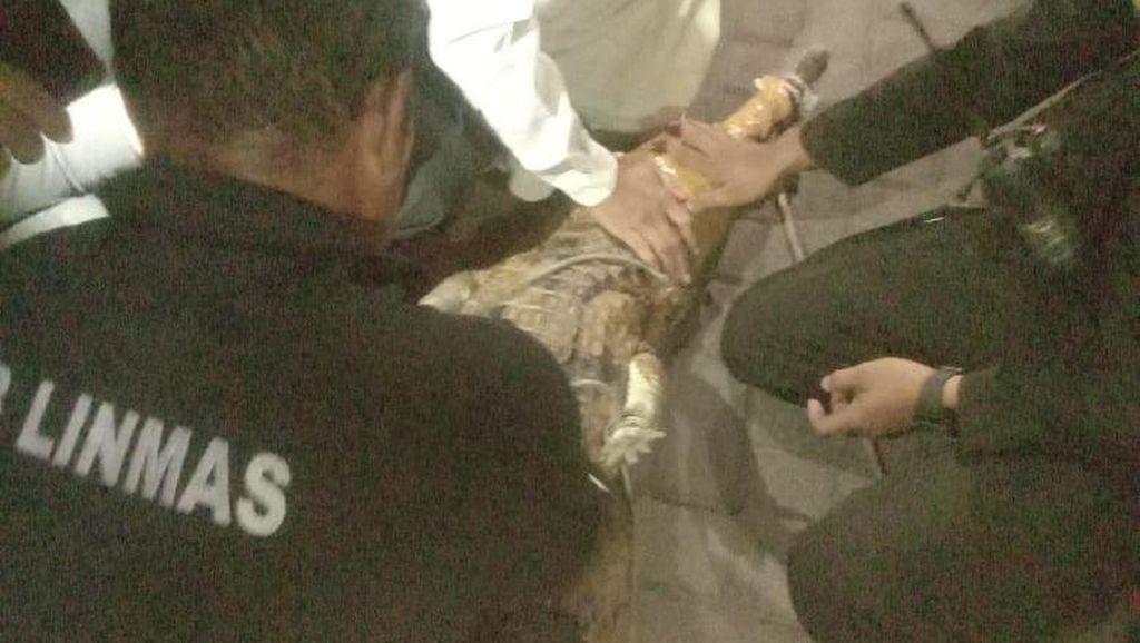Butuh 3 Jam dan 8 Orang Evakuasi Buaya 2 Meter Peliharaan Warga Surabaya