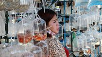 Pedagang Ikan Hias Raup Cuan di Tengah Pandemi
