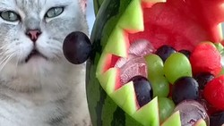 Gemas! Kucing yang Satu Ini Jago Bikin Dessert di TikTok