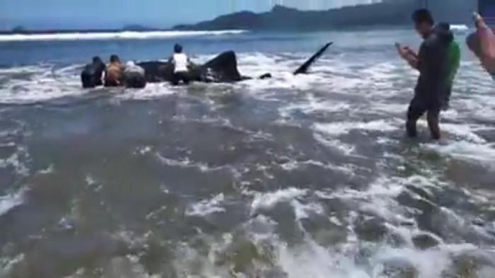 hiu paus di trenggalek