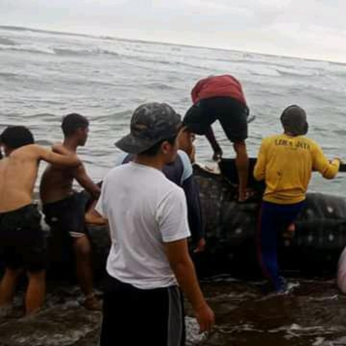 Hiu paus totol memiliki ukuran panjang lima meter dan berat sekiytar satu ton itu pertama kali dilihat oleh warga yang tengah mencari ikan di muara Ciwidig Desa Kertajadi, Kecamatan Cidaun, Jumat (25/9/2020).