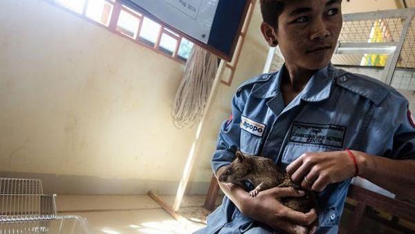 Sejak muda, Magawa sudah dilatih oleh sebuah kelompok amal berenama Apopo untuk mendeteksi alat peledak. (Getty Images)