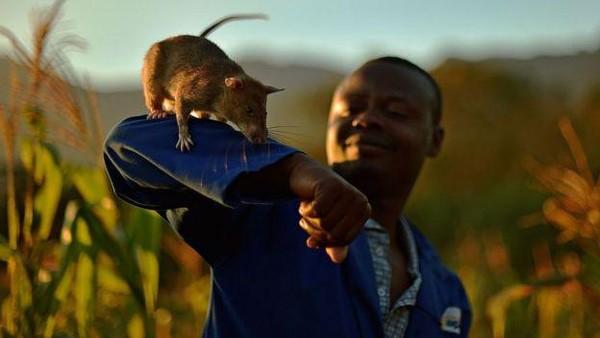Tikus-tikus seperti Magawa atau disebut dengan HeroRat telah dilatih untuk mendeteksi ranjau darurat. Diperkirakan, ada 80 juta ranjau darat yang aktif di seluruh dunia. (Getty Images)