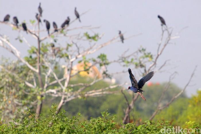 Burung Mandar besar (Western swamphen) terbang menghindar kehadiran manusia saat mencari makan di sekitar aliran sungai
