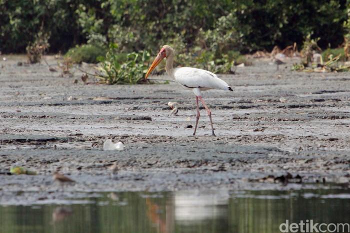 Satu individu burung Bangau bluwok (Milky stork) satu dari sekian jenis burung migrasi yang singgah di pantai Jakarta. Kawasan pesisir di mana kondisi dan keberadaannya kian memprihatinkan karena sampah dan hilangnya habitat oleh pembangunan