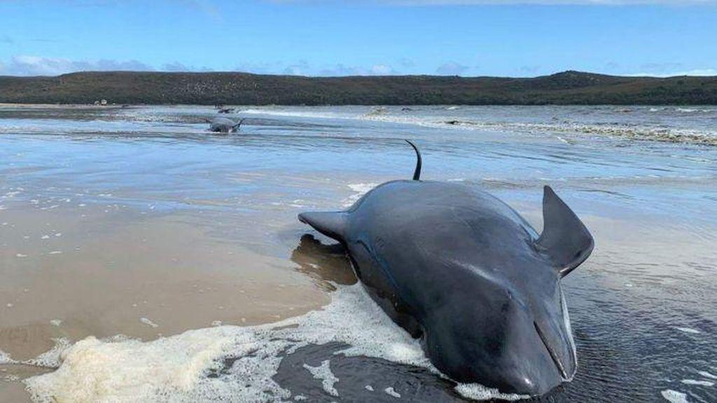 Ratusan Paus Terdampar di Perairan Tasmania, Hanya 88 Ekor yang Selamat