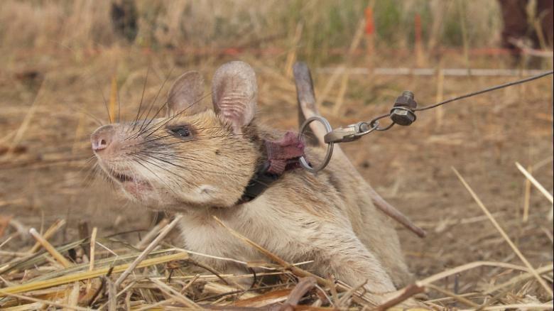tikus magawa