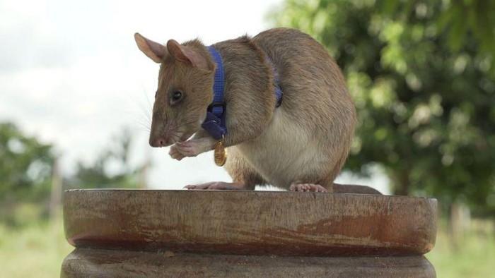 Seekor tikus raksasa meraih medali emas dari Badan amal kedokteran Inggris, PDSA. Medali diberikan karena tikus itu mampu deteksi puluhan ranjau darat.