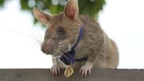 Tikus Raksasa Dianugerahi Medali Emas, Ahli Mendeteksi Ranjau Darat