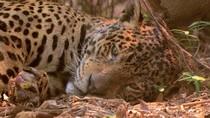 Foto Viral Jaguar Terluka Jadi Simbol Kehancuran Hutan Brasil