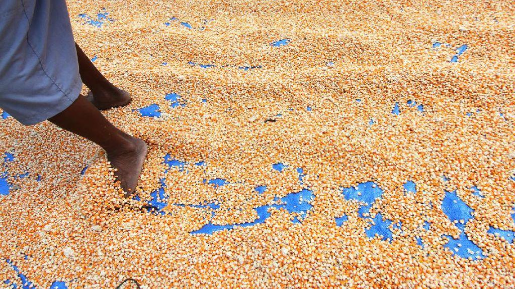 Pandemi Bikin Penjualan Jagung di Grobogan Lesu