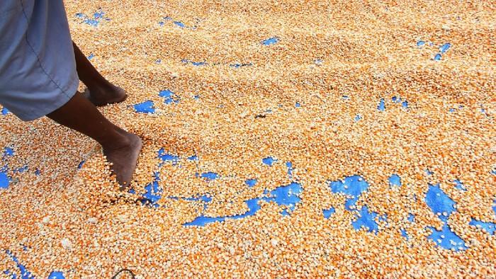 Pandemi Corona masih terus menghantui berbagai sektor perekonomian, salah satunya penjualan jagung kering di Grobogan, Jawa Tengah.