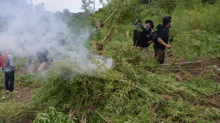 Personel Polri dibantu TNI memusnahkan tanaman ganja (Cannabis sativa) di perbukitan Gunung Seulawah, Pemukiman Lamteuba, Kecamatan Seulimum, Kabupaten Aceh Besar, Aceh, Sabtu (26/9/2020). Direktorat Tindak Pidana Narkoba Bareskrim Polri bersama Polda Aceh dan dibantu TNI memusnahkan seluas 10 hektare ladang ganja siap panen termasuk bibit ganja yang ditemukan di delapan lokasi, sementara pelakunya tidak berhasil ditangkap. ANTATARA FOTO/Ampelsa/wsj.