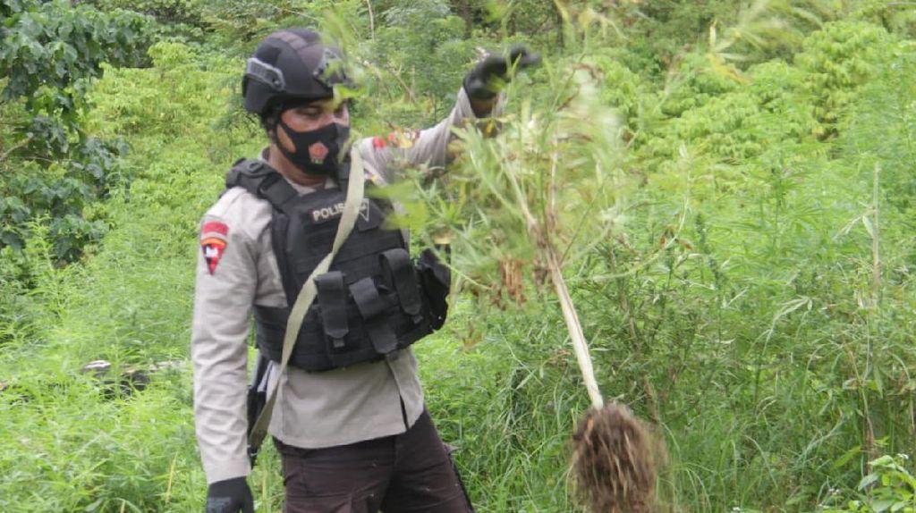 Polri Musnahkan 10 Hektare Ladang Ganja di Aceh Besar