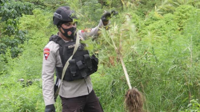 Polisi musnahkan 10 hektare ladang ganja di Aceh Besar