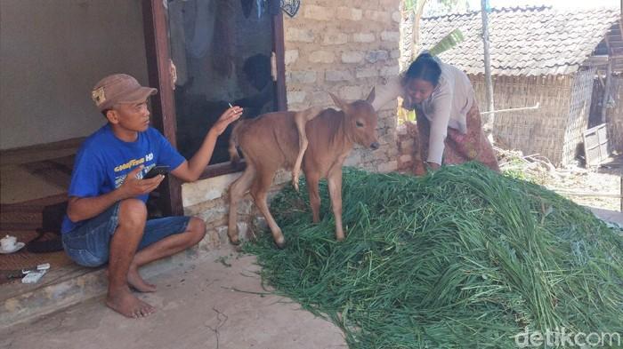 anak sapi berkaki lima