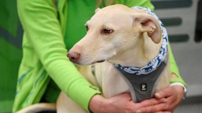 Finlandia melakukan uji coba mendeteksi virus Corona dengan mengandalkan anjing pengendus. Seperti apa cara kerjanya?