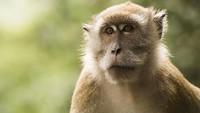 Pernah Makan Daging Monyet, Chef Stefu : Rasanya Enak
