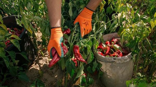 Di saat musim panen, para keluarga tersebut datang ke area perkebunan untuk bersama sama memanen paprika-paprika merah tersebut.