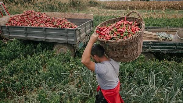 Mengutip Getty Images, desa ini bahkan mampu memproduksi sekitar 500 ton paprika setiap tahun.