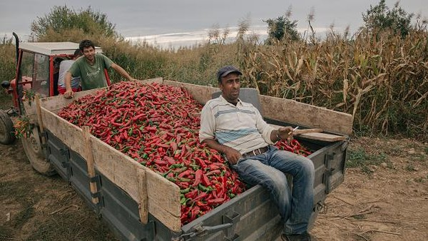Sejumlah mobil pick up pun digunakan para warga untuk mengangkut paprika-paprika merah hasil panen mereka.