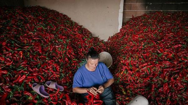 Usai dipanen, paprika-paprika merah tersebut akan disiapkan untuk dijemur.