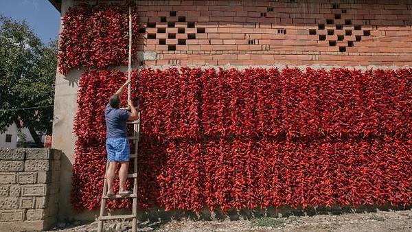 Seorang warga menggantung paprika-paprika merah di pekarangan rumahnya untuk dijemur. Diketahui, proses menjemur paprika tersebut dilakukan warga guna mempersiapkan kebutuhan menjelang musim dingin.