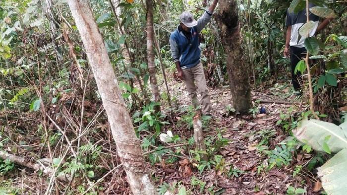 Lokasi penemuan jenazah bocah 10 tahun yang dibunuh dan dicabuli di kebun karet, Sumsel
