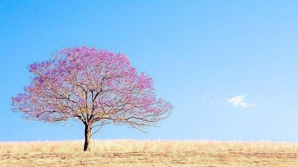 Indahnya pemandangan pohon Jacaranda yang bermekaran juga dapat dinikmati sembari melakukan perjalanan road trip ke area Scenic Rim. Di sana wisatawan akan disuguhi dengan pemandangan taman luas yang tentunya memiliki koleksi pohon Jacaranda dengan latar belakang langit Queensland yang sangat biru. Istimewa/Dok. @larissadening.