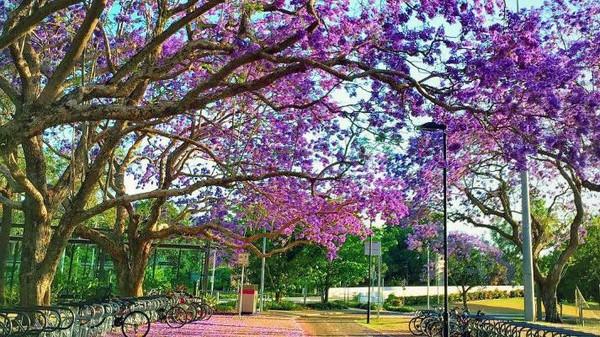 Momen bermekarannya pohon Jacaranda saat musim semi di Queensland, Australia, jadi momen yang kerap dinanti oleh warga sekitar maupun wisatawan. Pasalnya, saat pohon tersebut bermekaran kawasan itu akan berubah menjadi serba ungu. The University of Queensland pun jadi salah satu tempat pilihan untuk menikmati keindahan pemandangan pohon Jacaranda bermekaran. Istimewa/Dok. @imlee_.